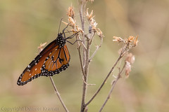 20181007-_E1A8470 (Denver Kramer) Tags: animals canon100400mmll canon7dll clearcreek denton denverkramerphotography monarch texas butterflies wildlife unitedstates us