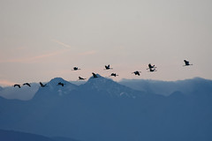 DSC_6427_DxO - Grue cendrée - Grus grus - Common Crane (Berzou) Tags: gruecendrée grusgrus commoncrane oiseaux bird nature fantasticnature naturebynikon nikond7200 tamron150600 lacdepuydarrieux migration