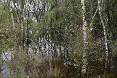 Cors Caron post Callum (shawn~white) Tags: bog ceredigion corscaron cymru fujifilmxt10 wales autumn fall grass primelens silverbirch trees water wet wetland woodland ©shawnwhite