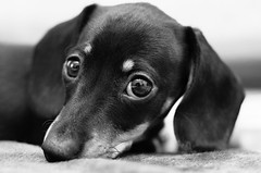 Sight (Shumilinus) Tags: 2013 50mmf18 nikond90 portrait animals dogs puppies dachshunds eyes blackandwhite bw