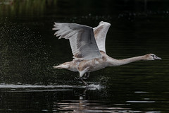 Come on buddy, you can do it (Kevin E Fox) Tags: muteswan juvenile flight birdinflight flying bombayhookwildliferefuge bombayhook delaware sigma150600sport sigma swan bird birding birdwatching birds nature nikond500 nikon