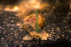 Trésors de nos jardins (aurelie amiot) Tags: franche comté france doubs 25 escargot escargots snail snails lumière lumineux couleur coloré colored nature sauvage wild wildlife free libre plante jardin garden beautiful magnifique beau vivant animal animaux macro