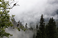 Trail's watch (The eclectic Oneironaut) Tags: 2018 6d canada canon eos selected mountcurrie britishcolumbia canadá ca joffre lakes birds ree mist fog