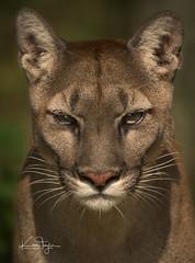 Viktoria (yadrad) Tags: puma mountainlion carnivore bigcat big cat sanctuary ngc feline