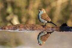 Blue Waxbill - Zimanga - South-Africa (wietsej) Tags: blue waxbill zimanga southafrica sony rx10m4 rx10iv bird reflection africa