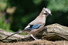 Jay in upright pose (karen leah) Tags: bird nature wildlife outdoors jay august poised