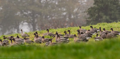 Pink-footed Geese (little mester.) Tags: pinkfootedgoose easternmoors easternmoorspartnership derbyshire goose migration farlane shillitowood