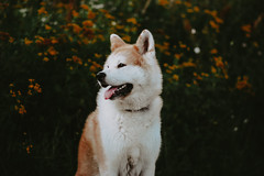 bbb-3 (gabriela.baszak) Tags: dog akitainu animal animals flowers smile model canon canon760d canon85mm 85mm f18