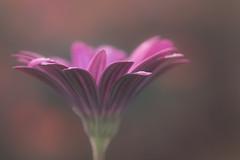 aurore (christophe.laigle) Tags: rose christophelaigle fleur macro pink flower fuji xpro2 xf60mm nature