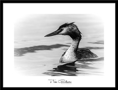 Starkly beautiful. (timgoodacre) Tags: grebe greatcrestedgrebe bird birds birdportrait birdlife wildbird wildlife wildanimal wild wildfowl nature nationalgeographic natural river riverbird riverlife outside outdoors outide blackwhite blackandwhite black monochrome mono animal animalportrait