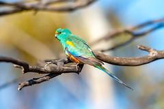 376A9176 (bon97900) Tags: 2018 birds gluepot2526thaug2018 gluepotreserve mulgaparrots parrots rivermurray riverland southaustralia