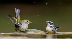 Chestnut-sided & Black-throated Gray Warblers (hyu767) Tags: chestnutsidedwarbler blackthroatedgraywarbler