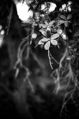 California Live Oak (Bokehneer) Tags: california native oak tree nature foliage greenery plant flora old leaves dark abstract bokeh