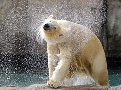Polarbear Blijdorp 094A0602 (j.a.kok) Tags: beer bear ijsbeer polarbear ursusmaritimus ursus blijdorp animal arctic noordpool northpole blijdorpzoo mammal zoogdier dier sizzl sizzel todz