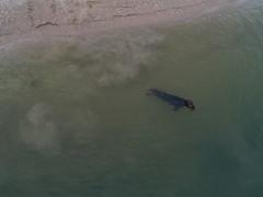 Seehund Ameland