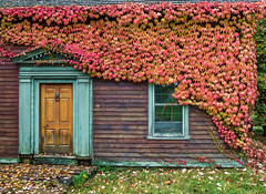Creeping vine (montrealmaggie) Tags: leaves fall autumn colour house vine