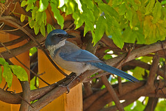 Woodhouse's Scrub-Jay (formerly Western Scrub-Jay (Aphelocoma woodhouseii).  Albuquerque, New Mexico, USA. (cbrozek21) Tags: woodhousesscrubjay westernscrubjay aphelocomawoodhouseii jay scrubjay bird animal nature bluebird