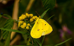 7K8A4718 (rpealit) Tags: scenery wildlife nature weldong brook management area orange sulphur butterfly
