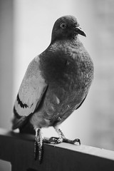 Gritty Visitor (Tednoir) Tags: mono monochrome bnw bw blackwhite blackandwhite black white bird pigeon dof bokeh nature fuji fujifilm xpro2 city animal grit 50mm texture