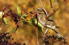 The Lovely Redwing..x (Lisa@Lethen) Tags: redwing visitor bird nature wildlife elder berry fruit scotland