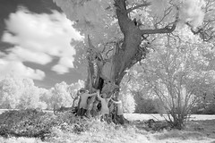 Some trees require more hugging than others... (Apionid) Tags: oak tree hugging infrared ir monochrome blackandwhite hereios werehere landscape staffordshire brankleypastures