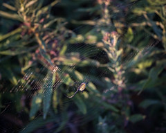 Along came a Spider... (mb.kinsman) Tags: 2018 autumn mbkinsmanphotography september springbrook mbkinsman