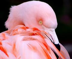 Pretty in Pink. (pstone646) Tags: flamingo bird nature pink plumage feathers closeup portrait eye fauna animal beak
