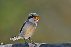 Southern Grey Shrike - Picanço-real-meridional (anpena) Tags: birds passerines shrikes southerngreyshrike