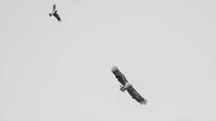 Eagle and crow (m2onen) Tags: eagle whitetailed sea large bird bif birding crow flight flying raptor birds sony a6300 laea3 sal70400g
