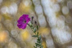 Petúnia (Petunia) (Torok_Bea) Tags: petúnia petunia flower flowers virág bokeh nikon nikond7200 d7200 meyeroptiktrioplan trioplan mog meyeroptikgörlitz natur november hellonovember autumn ősz garden home