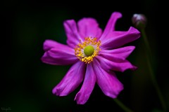 Japanese anemone (Anemone hupehensis var. japonica) (takapata) Tags: sony sel90m28g ilce7m2 macro nature