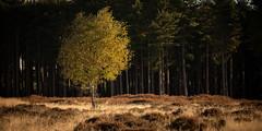 Brandon Heath (Phil Carpenter) Tags: brandonheath heath tree thetford autumn