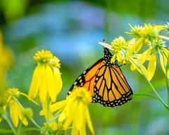 Butterfly with Bokeh (brev99) Tags: photoshopelements18 butterfly yellowflowers saturatedslidefilmeffect nikviveza nikoutputsharpener oxleynaturecenter d610 tamron70300vc bokeh shallowdof
