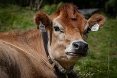 Kuh in Tux (Peter Goll thx for +8.000.000 views) Tags: 2018 d850 nikon österreich nature alpen natur urlaub alps tirol austira zillertal nikkor hintertux environnement holiday tux at kuh cow