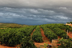 the farm of orange (christinehag) Tags: αγρόκτημα πορτοκαλιέσ farm orange trees arbres ferme