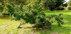 """""""A Red Letter Day For Me"""" (standhisround) Tags: trees tree nature hamptoncourtpalace gardens garden fruit medlar uk england wilderness leaves foliage grass openarsefruit dogsarsefruit ancient romantimes"""