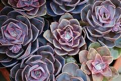 Succulents   (Explore 04/10/18) (only lines) Tags: succulents plants purple