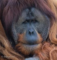 Contemplation (JKmedia) Tags: chesterzoo primates animals captive 2018 sonyrx10iii orangutan male hairy cheeks