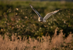 Short-eared Owl (Steve D'Cruze) Tags: short eared owl asio flammeus sefton merseyside nikon d500 sigma 150600mm