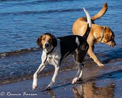 Jakob and Jake (RCB4J) Tags: ayrshire clydecoast firthofclyde irvinebeach rcb4j ronniebarron scotland sonyslta77v sonydt18250mmf3563 art dogwalking dogs gundogs photography playing sand sea siameselurcher spaniel trailhound