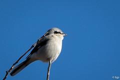 Northern Shrike (bjptada) Tags: birds northernshrike shrike