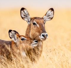 Waterbuck mother and calf (frankmetcalf) Tags: waterbuck mother calf antelope kenya maasaimara africa savannah grassland entimcamp migration