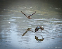 Blue-winged Teal-6739 (j.strome) Tags: bluewingedteal