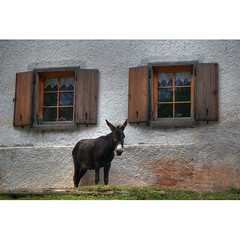 Donkey and windows (Robyn Hooz) Tags: donkey smile finestre muro wall vetro dolomiti asino asinello funny orecchie ears grass