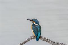 Alcedo atthis (Francesc //*//) Tags: commonkingfisher martínpescador martinpêcheurdeurope blauet blavet flix natura naturaleza nature bird pájaro ocell oiseau animal au ave