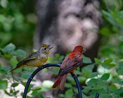 Summer tanager (justkim1106) Tags: bird birds fledgling feeding nature summertanager naturebokeh parentandbaby texasbird texaswildlife