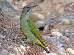 Pito real (Picus viridis)  (28) (eb3alfmiguel) Tags: aves pájaros carpinteros pito real picus viridis
