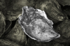 Oyster (brucetopher) Tags: oyster shellfish seafood healthy delicious remedy antioxidant zinc calcium vitamina vitaminc shell seashell clam bivalve