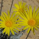 Nevada sunray, Enceliopsis nudicaulis var. nudicaulis thumbnail