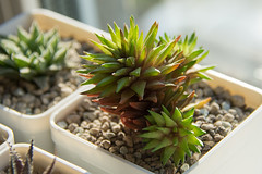 Haworthia pulchella v. globifera (ovajaro) Tags: haworthia plants succulents
